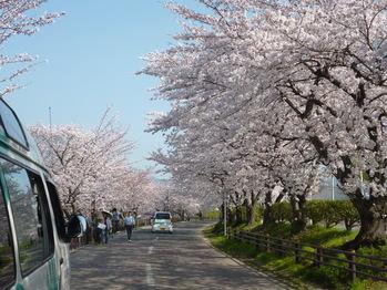 朝倉川沿いは豊橋の隠れた桜の名所です。