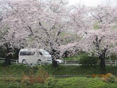 車の中から朝倉川の桜を見ました。
