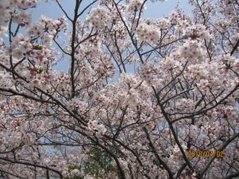 向山大池公園の桜は満開です。